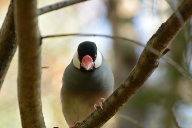 文鳥の飼い方では餌・水・温度管理が大事で特に保温が大事!!