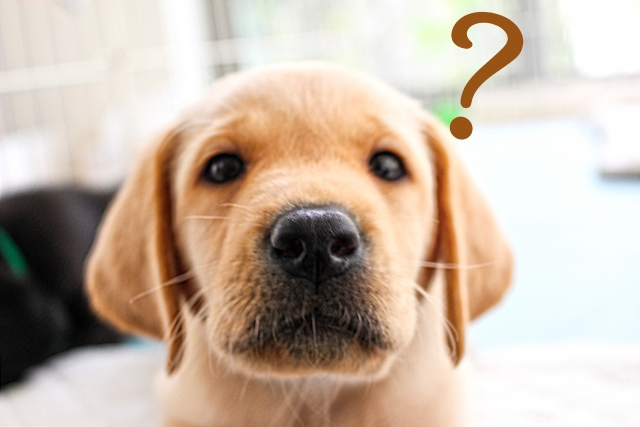 ラブラドールを飼うのは大変?飼う前に知るべきことや飼うには何が必要?